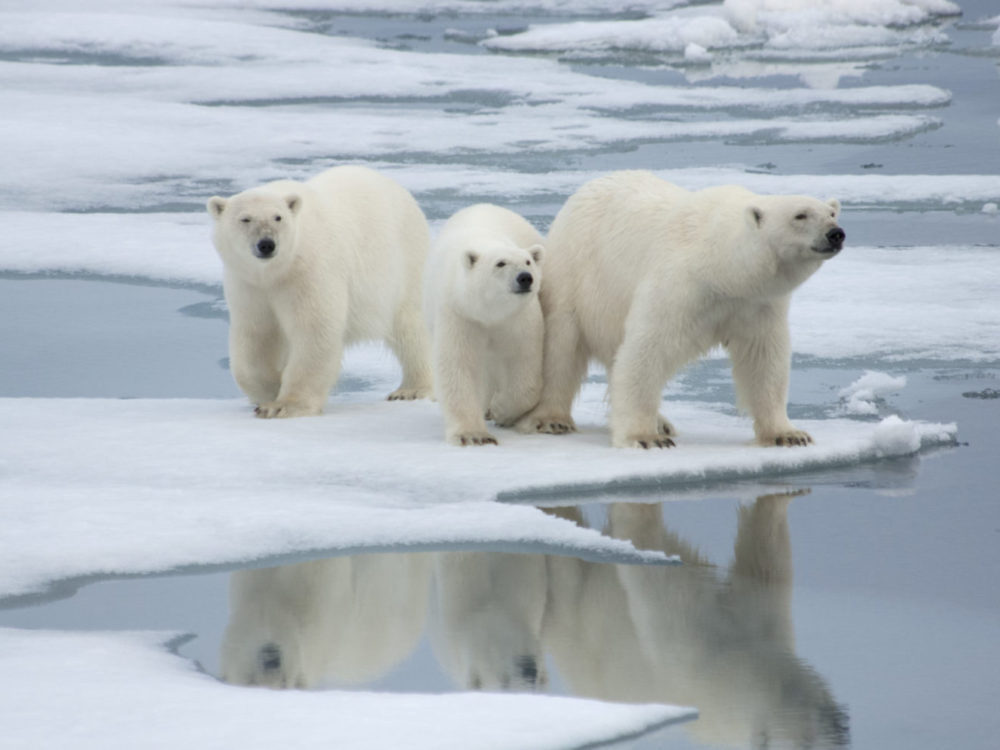 Polar Bear& Two Yearling Cubs